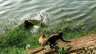 Pity Sumera Is Chased Out Into The River, Old Female Monkey Crying So Sad