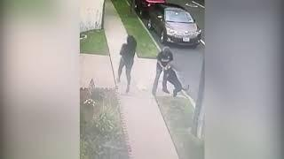 Video shows pit bull attack on woman, Chihuahua pups in Sunnyside