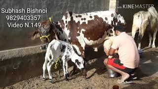 (149)????47000???? Rathi cow???? female caff???????? milking video???????? please♥️???? Subscribe???