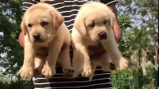 Show quality Lebrador puppies for sell male 18,000 female 16 ,000