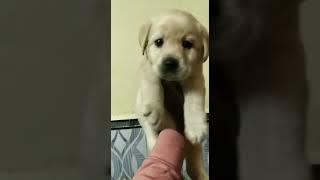 Labrador show quality female puppy for sale in Patna Bihar