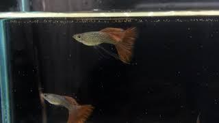 Red Lace Guppy 2 males & 1 female $30 (SOLD OUT)