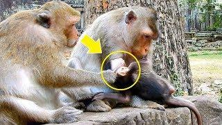 Female Monkey June Pull The Head Of Viola, Baby Monkey Viola Cries Cause Hurt