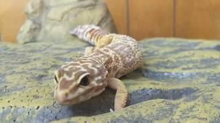 Paige - female leopard gecko up for adoption