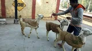 Hansa female SOLD OUT, R.K Brother Goats Farm Etawah U P, Whatsapp Contect no-8057106851