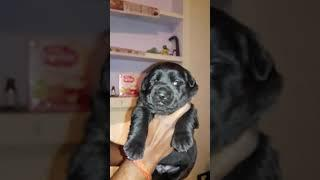 Punch head labra female show quality short tail for sell
